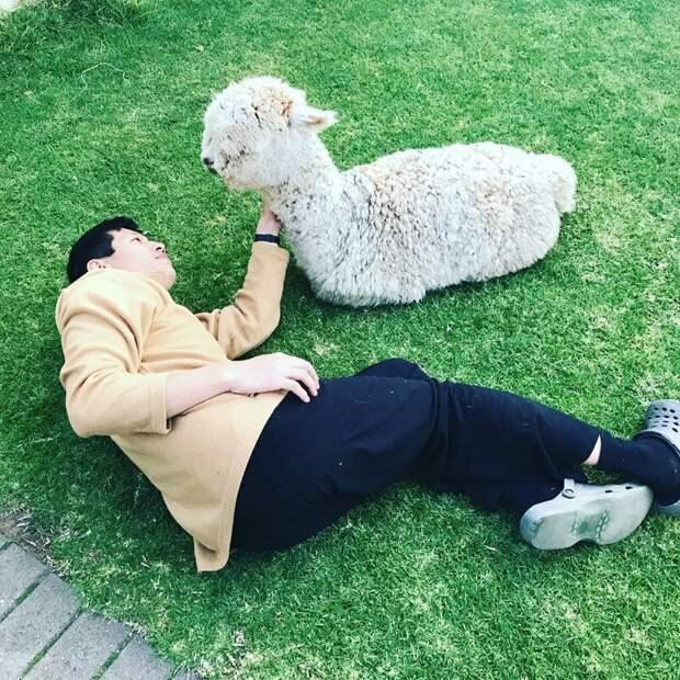 Вот в таком виде застала Софи мужа в тот день, когда он привёл в дом альпака Instagram, альпака, домашний питомец, животные, милота, фото