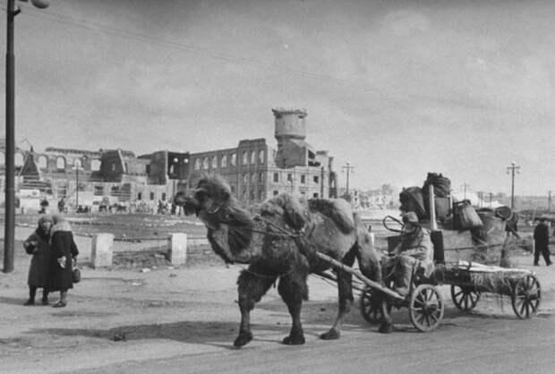 Верблюды на войне показали невероятную выносливость. /Фото:mytashkent.uz