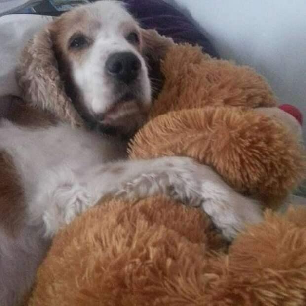 собака обнимает игрушку