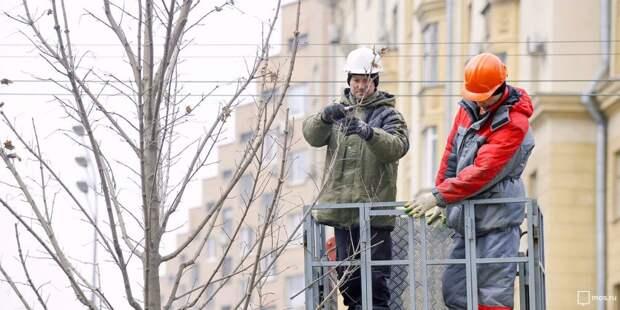 «Омолодить» разросшийся тополь на Ленинградке можно будет только с осени — «Жилищник»