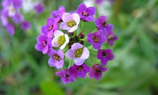Необычные однолетники с фиолетовыми, зелеными, лимонными и пурпурными цветками
