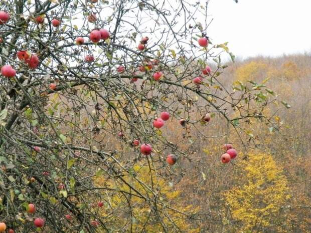 Все плоды с зимних сортов яблони должны быть сняты до того, как она уйдет на покой