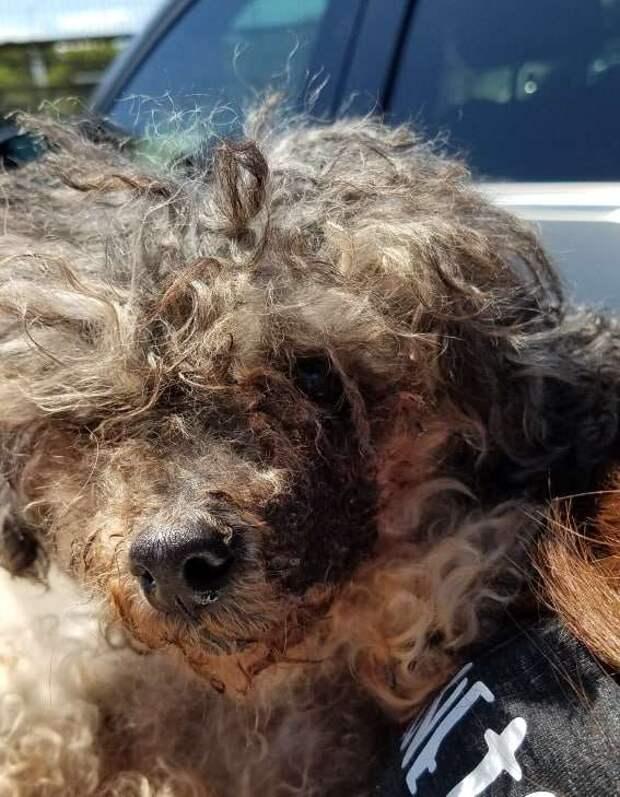собака со спутанной шерстью