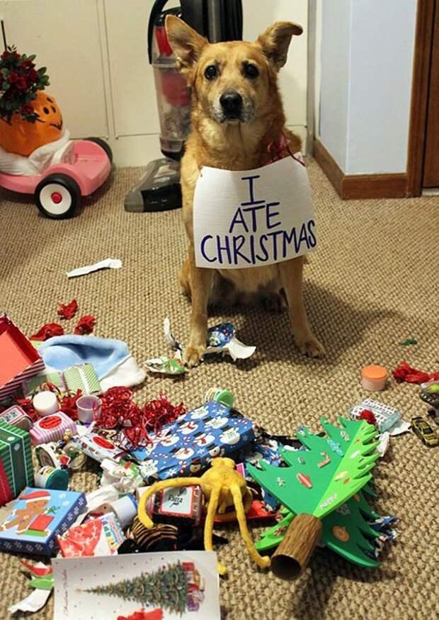 """9. """"Я слопал Рождество"""". И это было вкусно животные, новый год, праздник к нам приходит, разрушительная сила, рождество, собаки и кошки, юмор"""