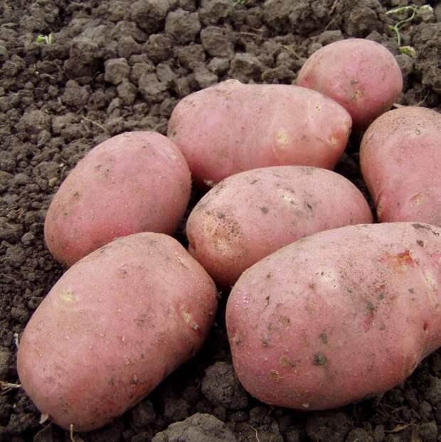 Картинки по запросу сорта картофеля ирга