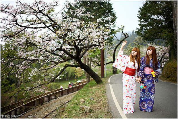 Японки в национальных костюмах рядом с цветущей сакурой. Фото