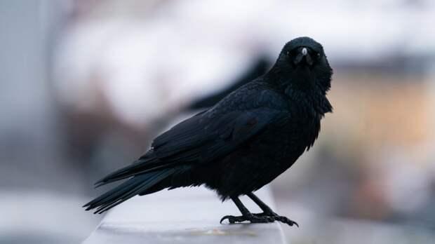 Ученые выяснили, что вороны могут планировать свои действия