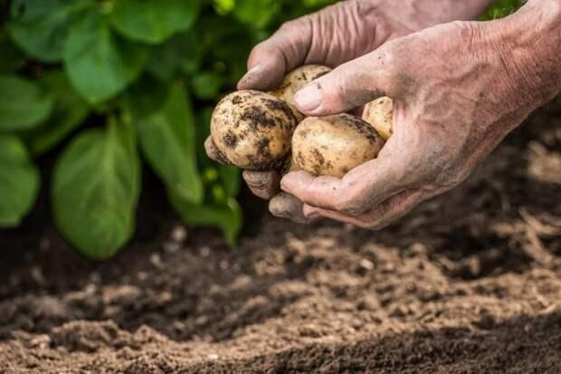 июльский картофель