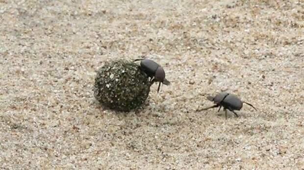 Два навозных жука дерутся эпичнее, чем в Mortal Kombat битва, борьба, видео, драка, жук, навозный жук, насекомые