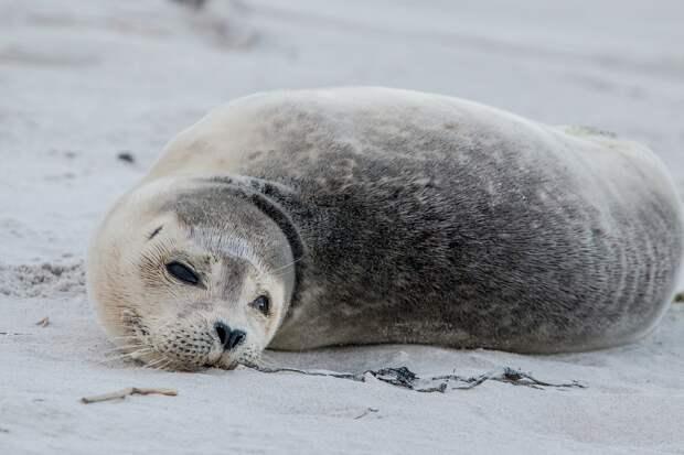 Неизвестные расстреляли тюленя на Сахалине