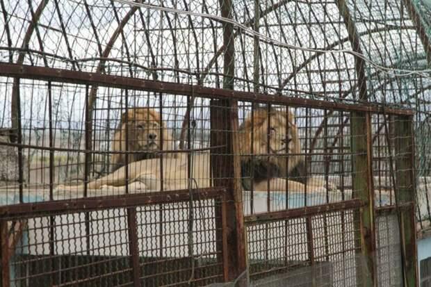 Сородичи льва Ленси и Жаку, как и он сам, жили в крохотных клетках на территории зоопарка в Фиери, Албания Four Paws, Албания, животные, зоопарк, организация, спасение, фото