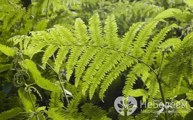 Орляк – съедобная весенняя трава