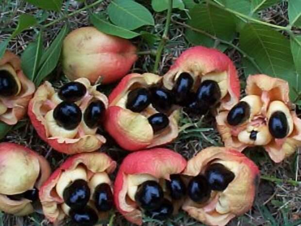 http://ukusi.com/wp-content/uploads/2010/04/ackee_fruit-300x226.jpg