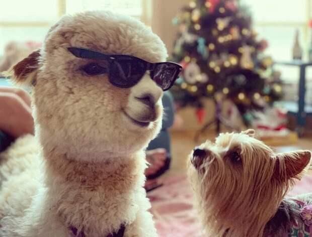 Кто здесь самый крутой? Instagram, альпака, домашний питомец, животные, милота, фото