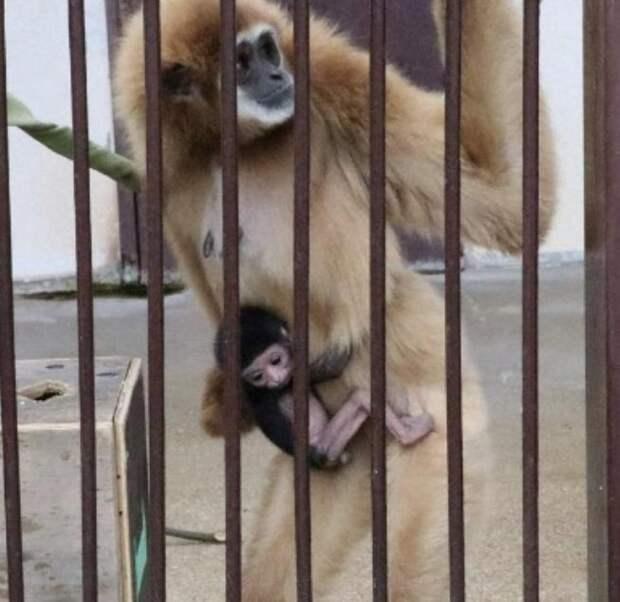 Обезьяна в зоопарке родила детёныша, но никто не понял от кого