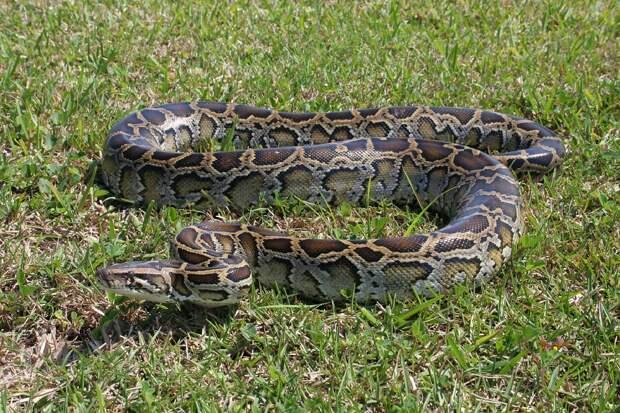 В болотах Флориды нашли самого большого питона в мире