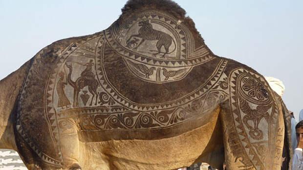 6 крутых верблюжьих стрижек, на создание которых уходит до трех лет