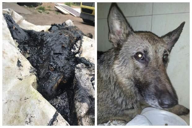 Чудеса случаются: Всем Псковом спасли трех залитых гудроном собак, а одна из них еще и принесла потомство