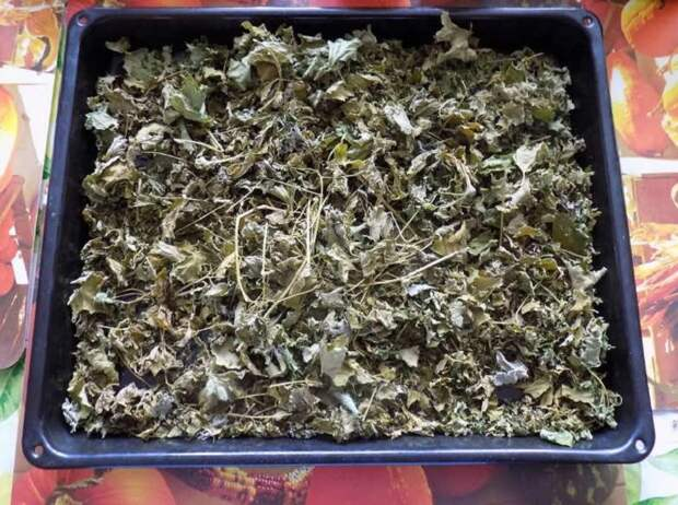 целебные свойства листьев черной смородины
