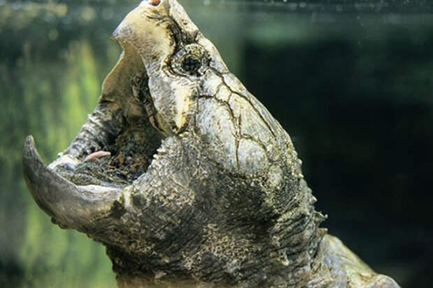 Проверка укуса черепахи: ломает деревянную палку