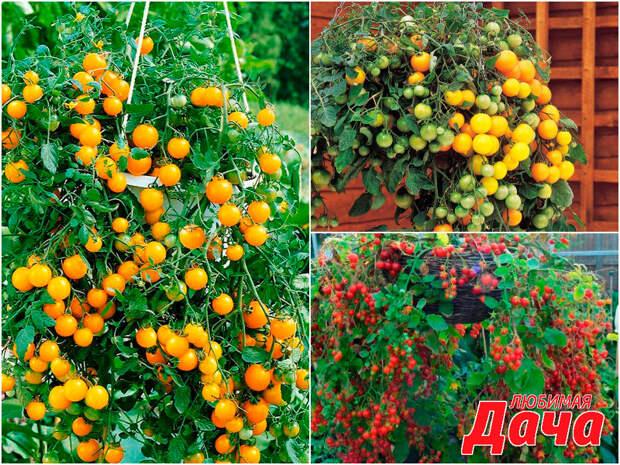 Ампельные помидоры 🍅