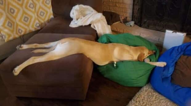 Неловкий пёс засыпает в очень странных позах, а хозяева не могут к этому привыкнуть