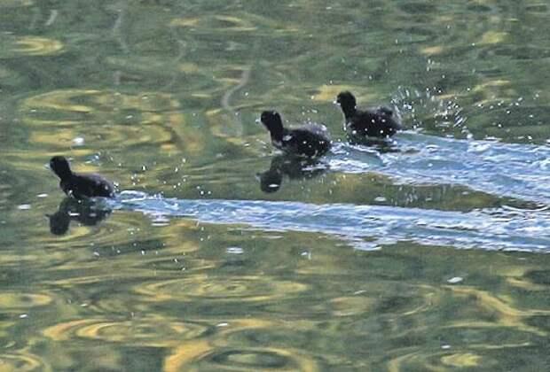 У малышей первый самостоятельный «забег» на воде/ Михаил Фёдоров