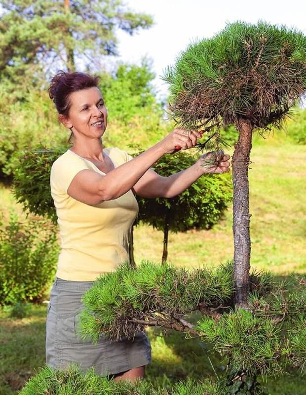 Грамотная стрижка — одна из немногих  забот, в которых нуждаются хвойные растения.