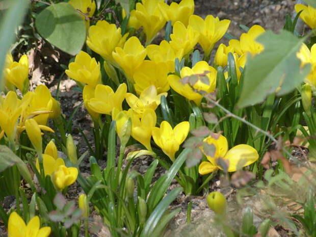 Штернбергия желтая, фото автора