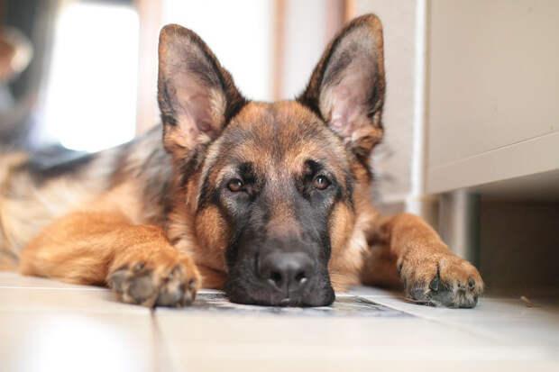 В Италии отравили пса, который спасал людей после землетрясения в 2016 году