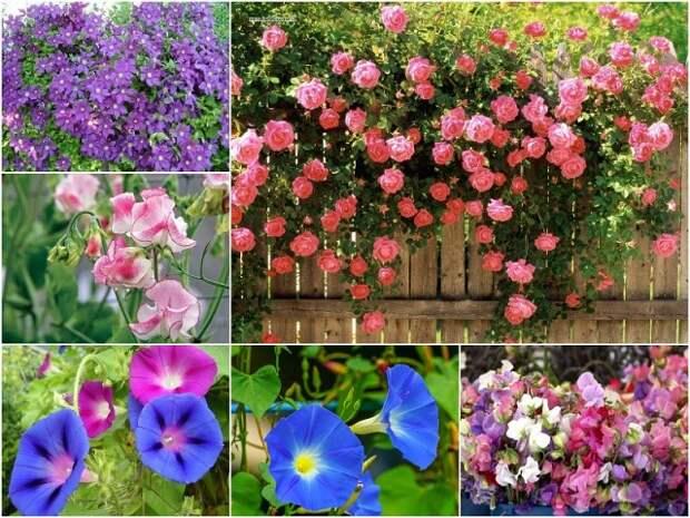 Вьющиеся цветы для дачи