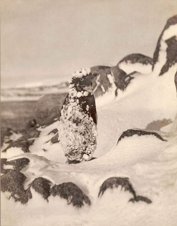 Первая Австралийская антарктическая экспедиция в фотографиях Фрэнка Хёрли 1911-1914 54