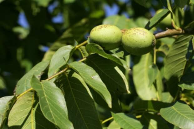 Где растут грецкие орехи, которые можно расколоть пальцами?
