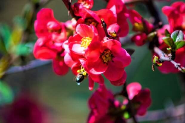 В Лианозовском парке скоро зацветёт японская айва