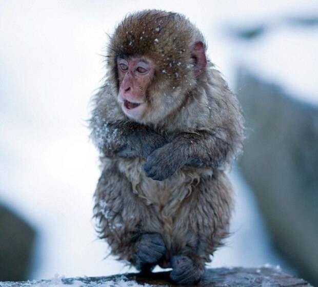Джигокудани - парк снежных обезьян