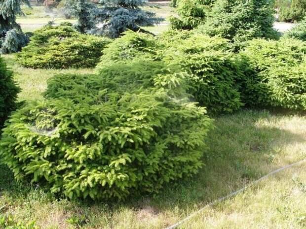 Picea abies Nidiformis группа
