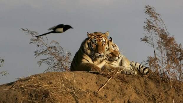 Путин назвал День тигра самым ярким экологическим праздником России