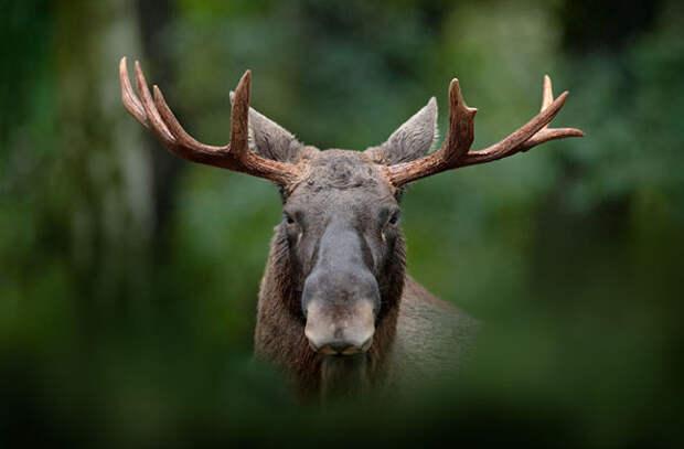 Вежливый лось позвонил в дверь на Аляске