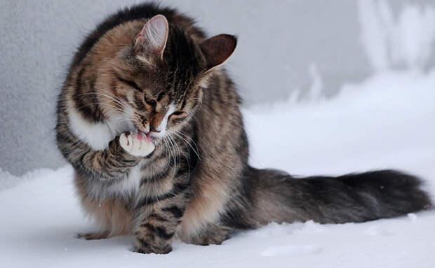 Кошка умывает лапы