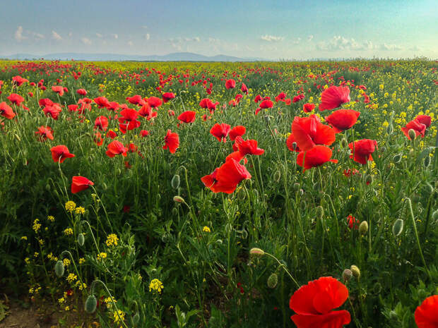 На фото: цветение маков в степи на северо-востоке Крыма.