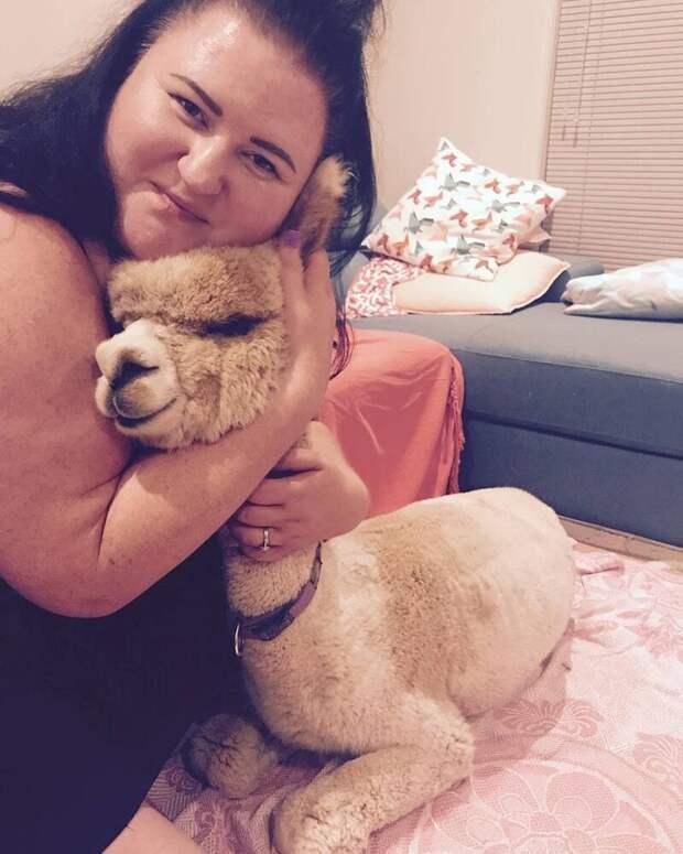 Такого необычного питомца завели себе Джефф и Софи Ченг из Аделаиды (Австралия) Instagram, альпака, домашний питомец, животные, милота, фото