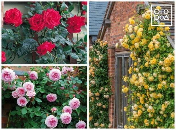 плетистые розы клаймберы