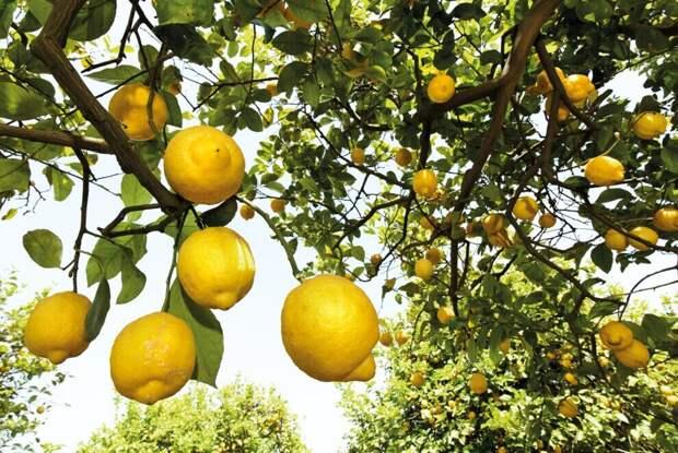 ТОП-5 неожиданных фактов о лимонах, которые вас удивят