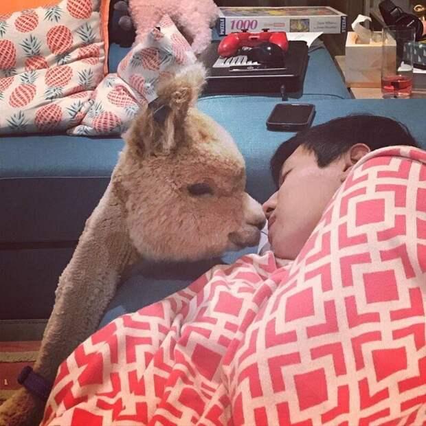 Мимими Instagram, альпака, домашний питомец, животные, милота, фото