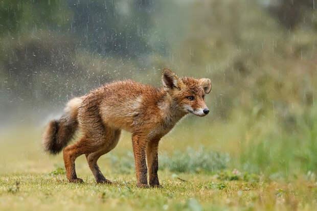 Непредсказуемые дикие лисы в фотографиях Розелин Реймонд-3-1
