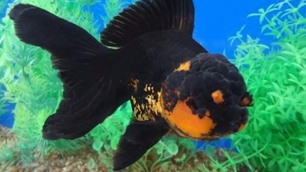 Ранчу аквариумные рыбки, животные, необычные рыбы, рыбы