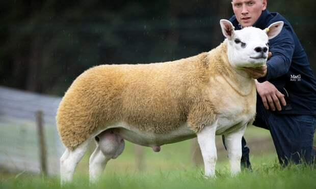 Шотландский баран-совершенство ушел с аукциона за полмиллиарда