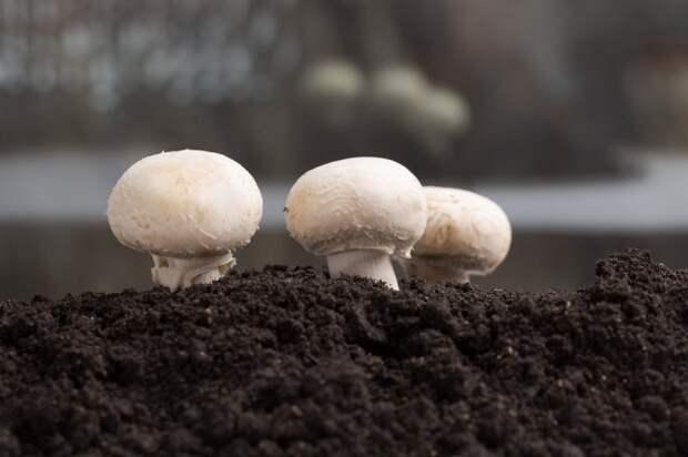 как правильно выращивать шампиньоны