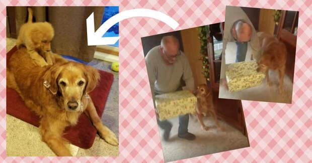 Старый золотистый ретривер потерял подругу сердца… И Санта принёс ему самый умилительный подарок на Рождество! :)