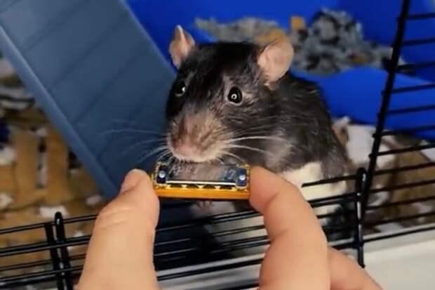 Домашняя крыса из Нидерландов, сыграв на мини-гармошке, попала в TikTok и Spotify